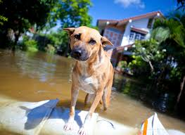 Dog in Flood